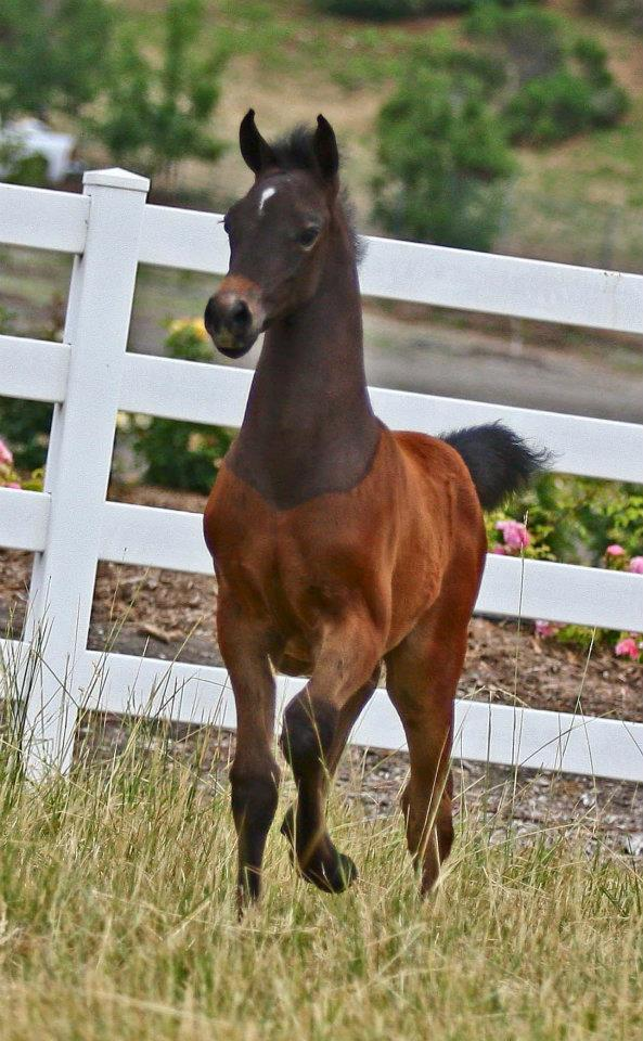 CP Magnitude (My first foal, born in 2012, photo circa 2012.)  Photo Credit: W. K. Kellogg Arabian Horse Center
